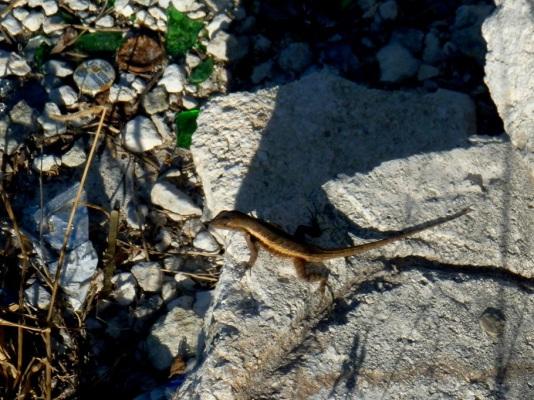 P1060022 Little lizard in amongst litter